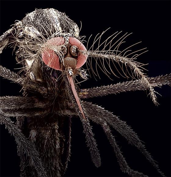 883-aedes-aegypti-mosquito-que-carrega-o-virus-da-dengue