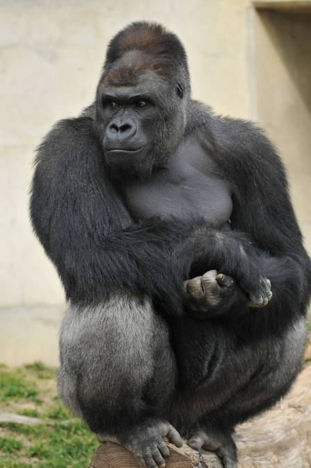 shabani-gorila-bonitao-03