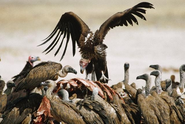 Whitebacked Vultures Feeding on a Carcass