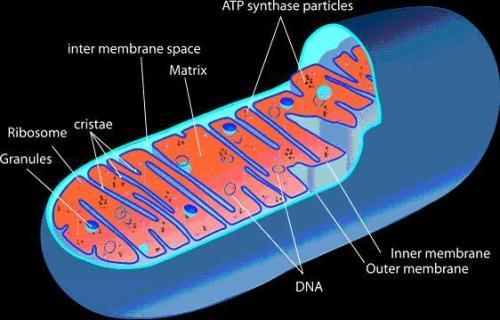 mitochondria-562x359